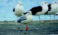 Un goéland argenté et 3 goélands marins