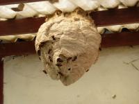 nid de frelon