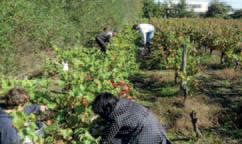 Les vendangeurs parmi les rangées de vigne de la Bégaudière (photo VIE)